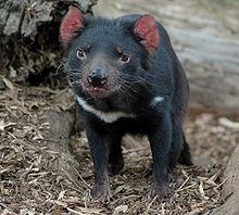 diable_tasmanie