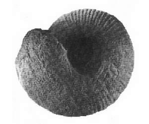 Aulacostephanum