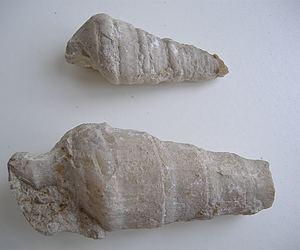 Nerina mosae