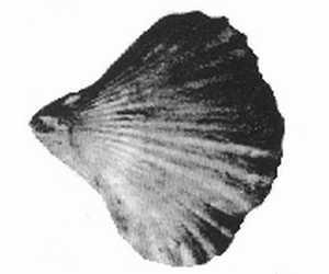 Rhynchonella multiformis