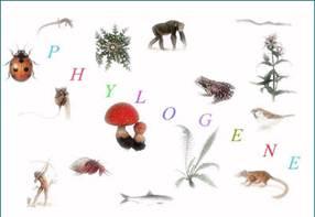 phylogene