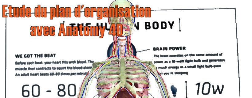 Etude du plan d'organisation avec Anatomy 4D